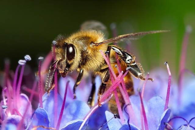 Honey_bee_on_blue_flower