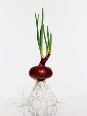 A red onion  | location: Studio in tokyo japan | description: A red onion  | location: Studio in tokyo japan