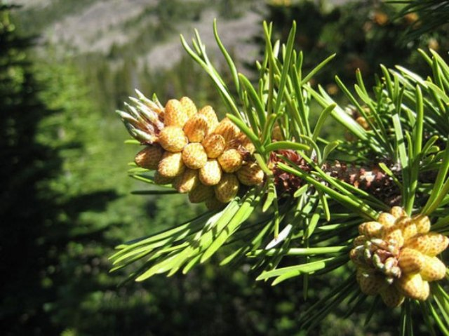 Pine-nuts