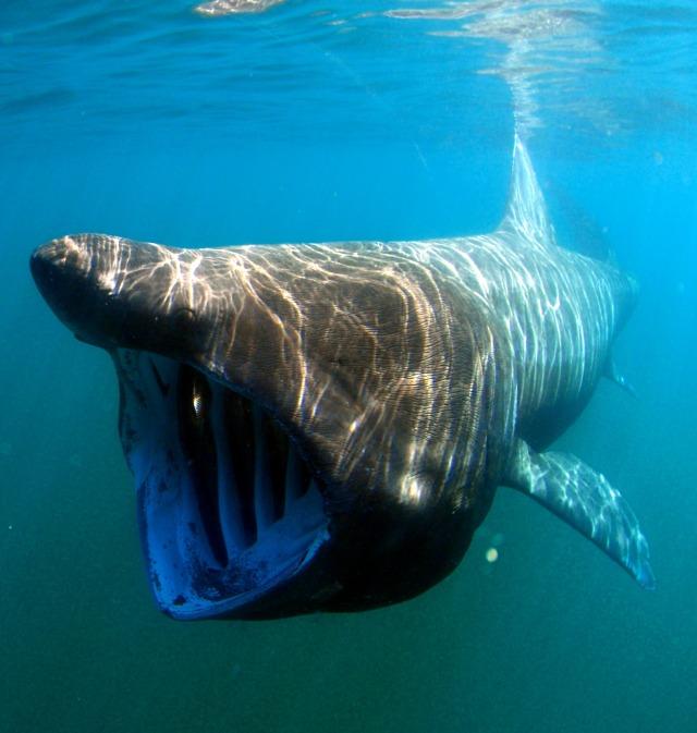 Underwater-Swimming-Basking-Shark