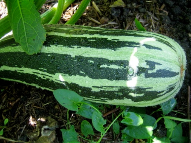 Vegetable-marrow–1