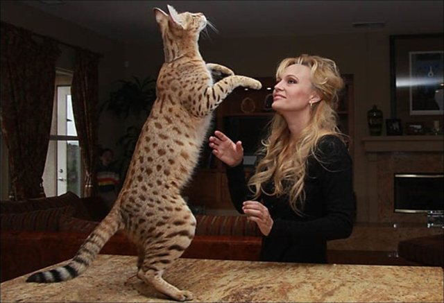 13-savannah-cat