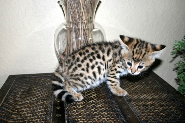 14-savannah-cat