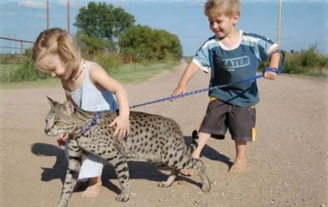 15-savannah-cat