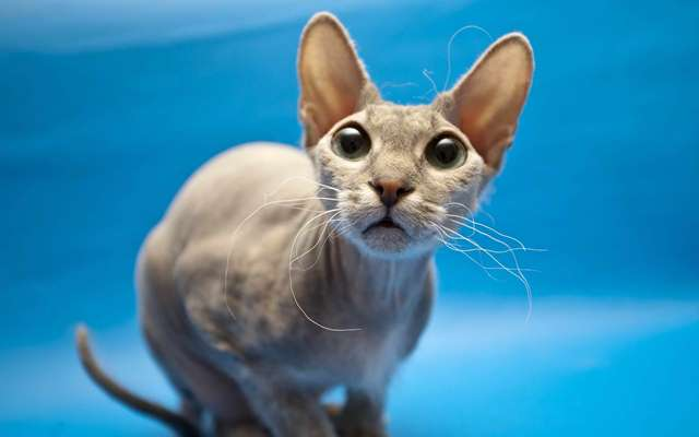 26-sphynx-cat