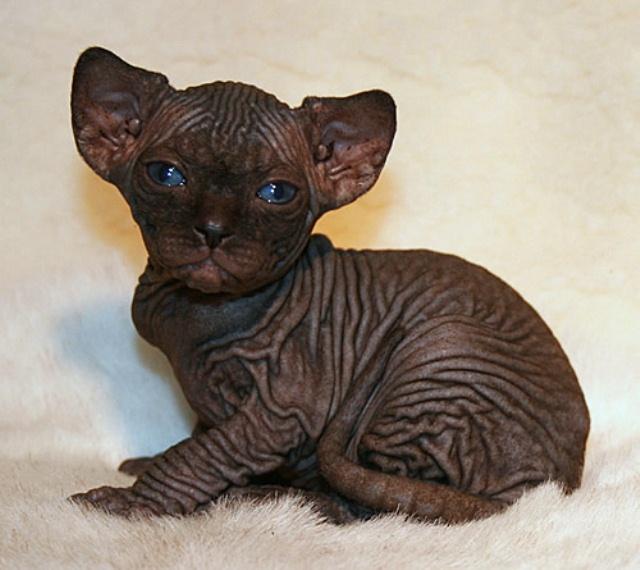 27-sphynx-cat
