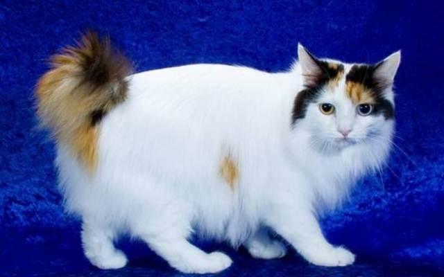 7-japanese-bobtail-cat