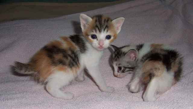 8-japanese-bobtail-cat
