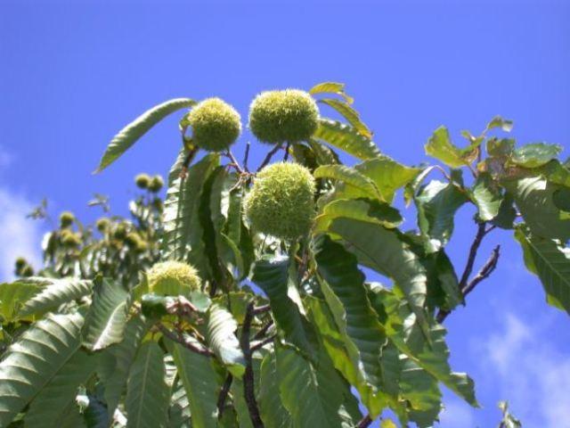 Chestnut_11