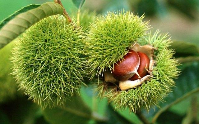 Chestnut_5