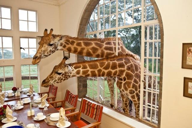 GiraffeManor14