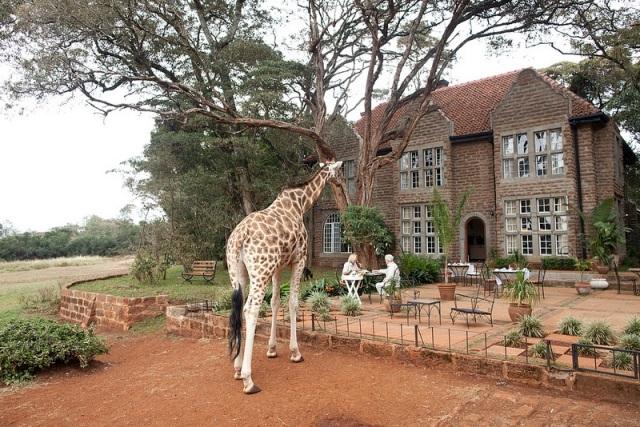GiraffeManor18