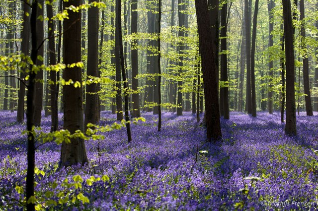 bluebells-blooming-hallerbos-forest-belgium-11
