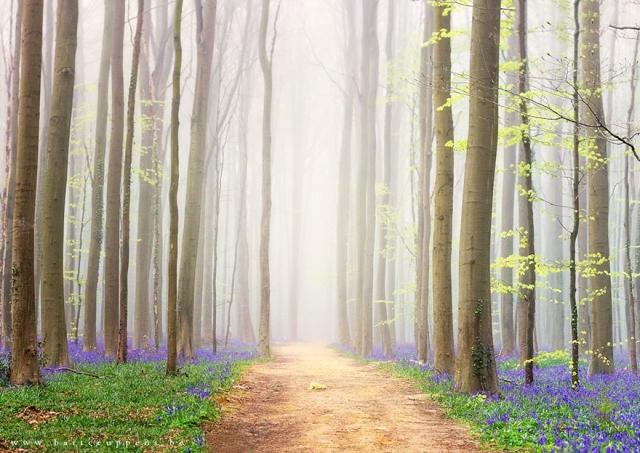 bluebells-blooming-hallerbos-forest-belgium-13