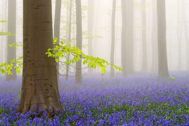 bluebells-blooming-hallerbos-forest-belgium-4