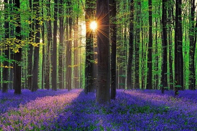 bluebells-blooming-hallerbos-forest-belgium-7
