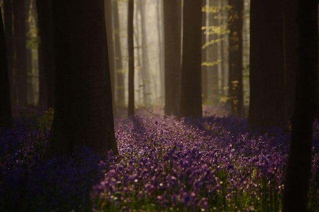 bluebells-blooming-hallerbos-forest-belgium-8