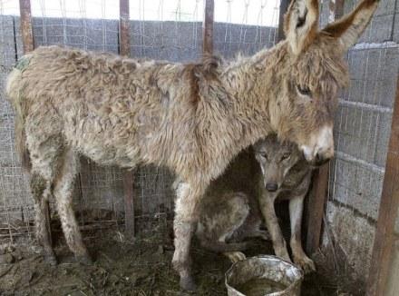 wolf-donkey-friendship-1