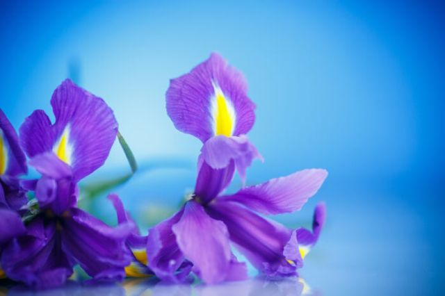 beautiful bouquet of flowers irises on a blue background